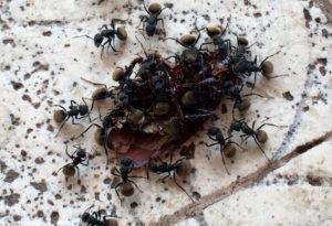 Alimentándose de un insecto muerto
